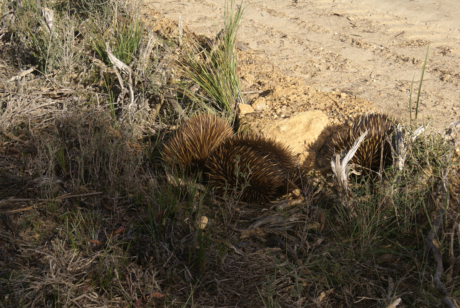 A rare sight: echidnas in the wild!