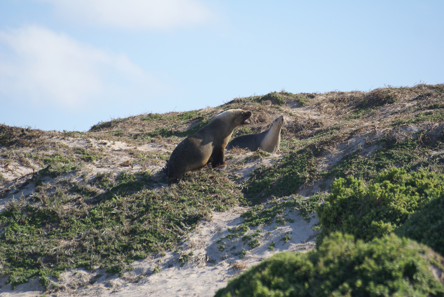 Sea lions at Seal Bay