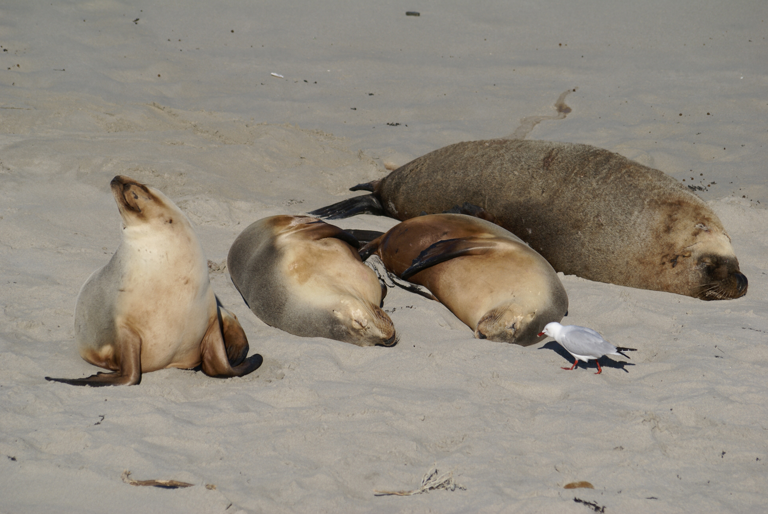 Naptime at Seal Bay