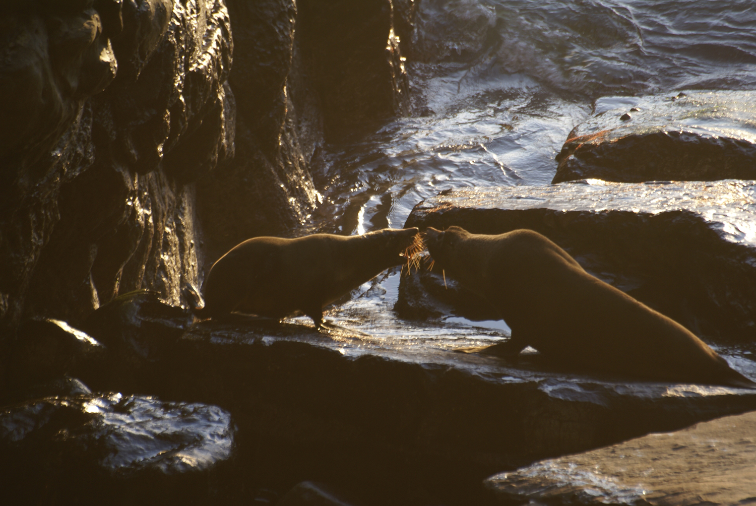 Fur seals at Admiral's arch
