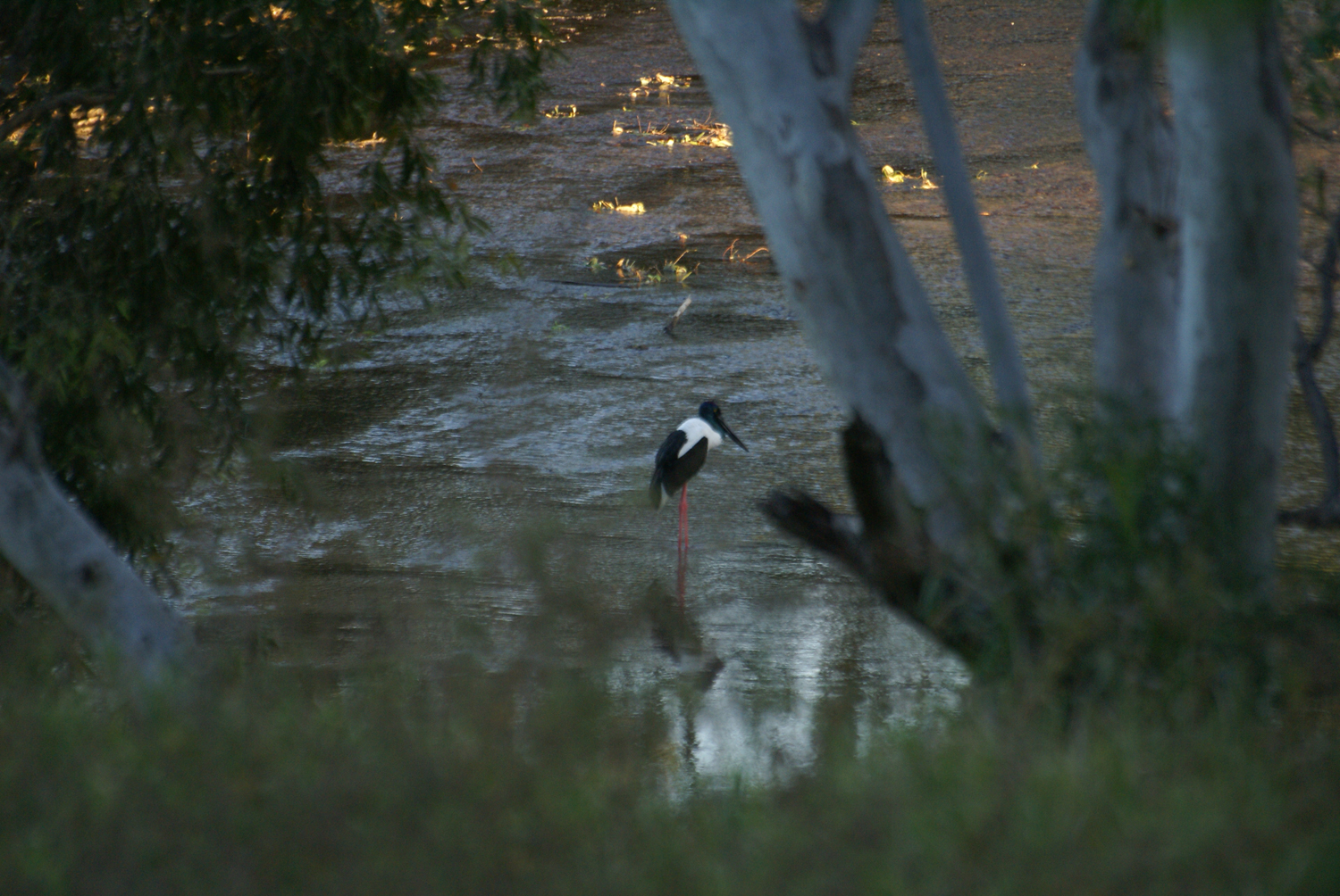 Jabiru in the early morning hour