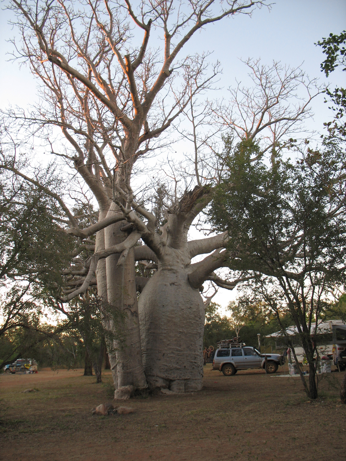 Boab tree in the campground