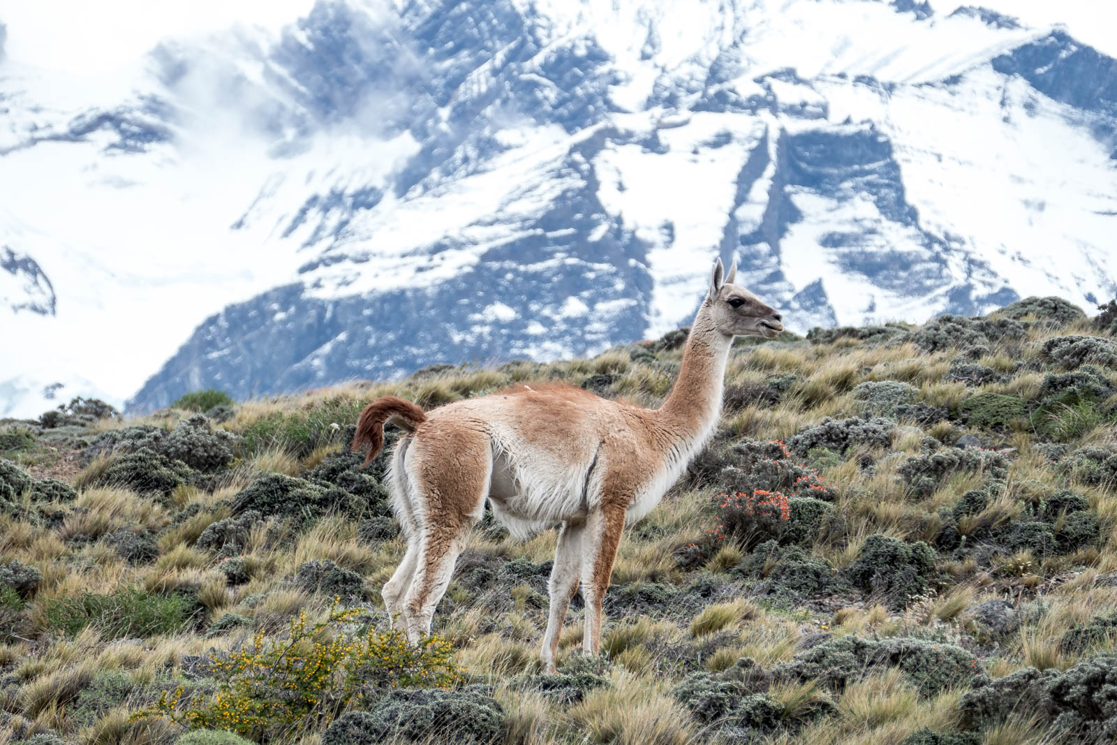 Guanaco and Andes mountains