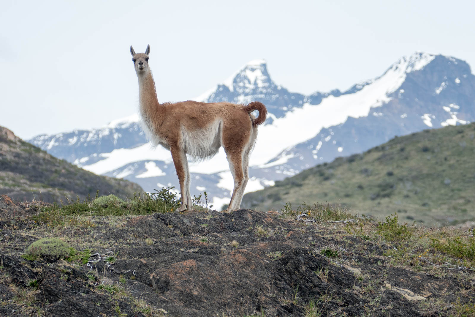 Guanaco and mountains