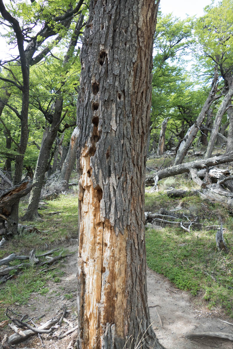 Signs of woodpecker activity