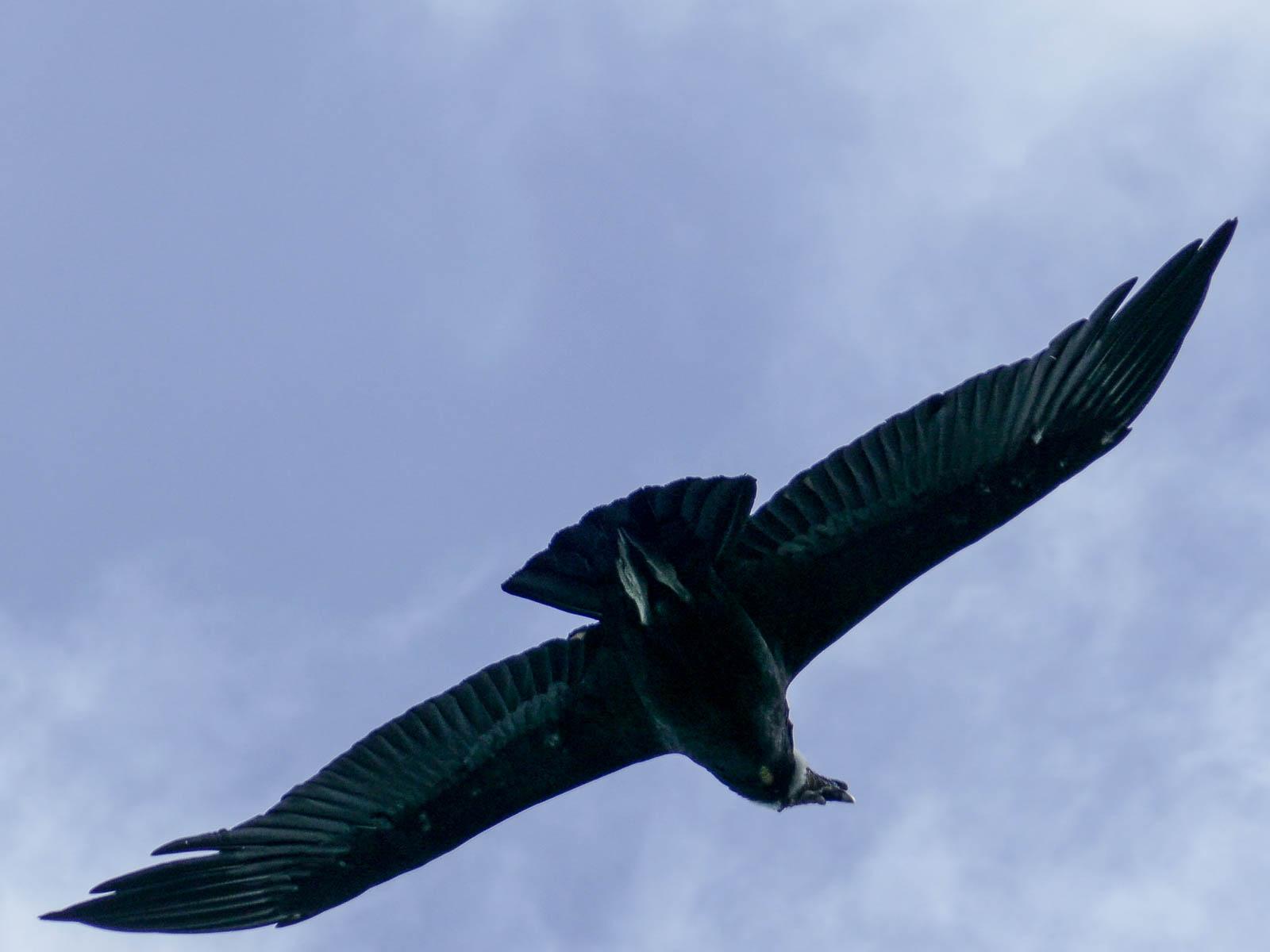Soaring condor at Perito Moreno Glacier