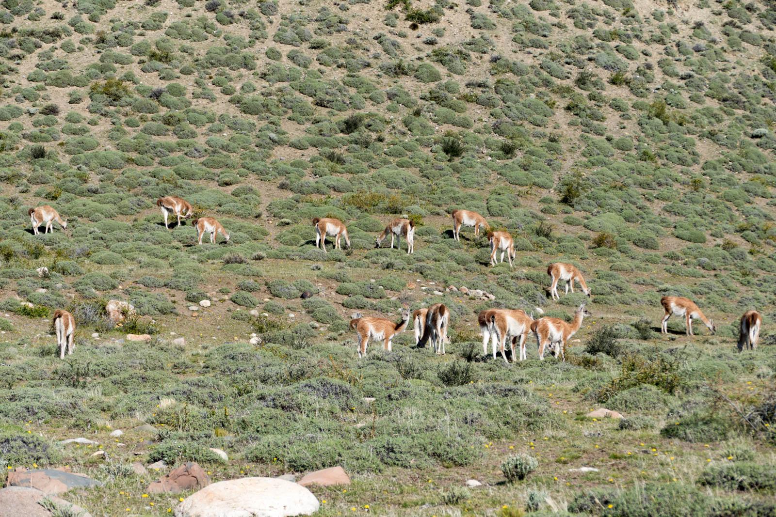 Herd of guanacos