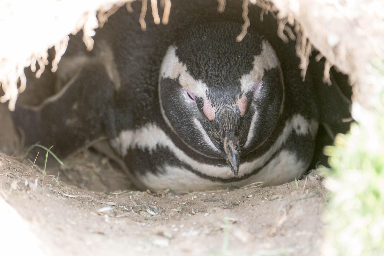 Penguin incubating an egg
