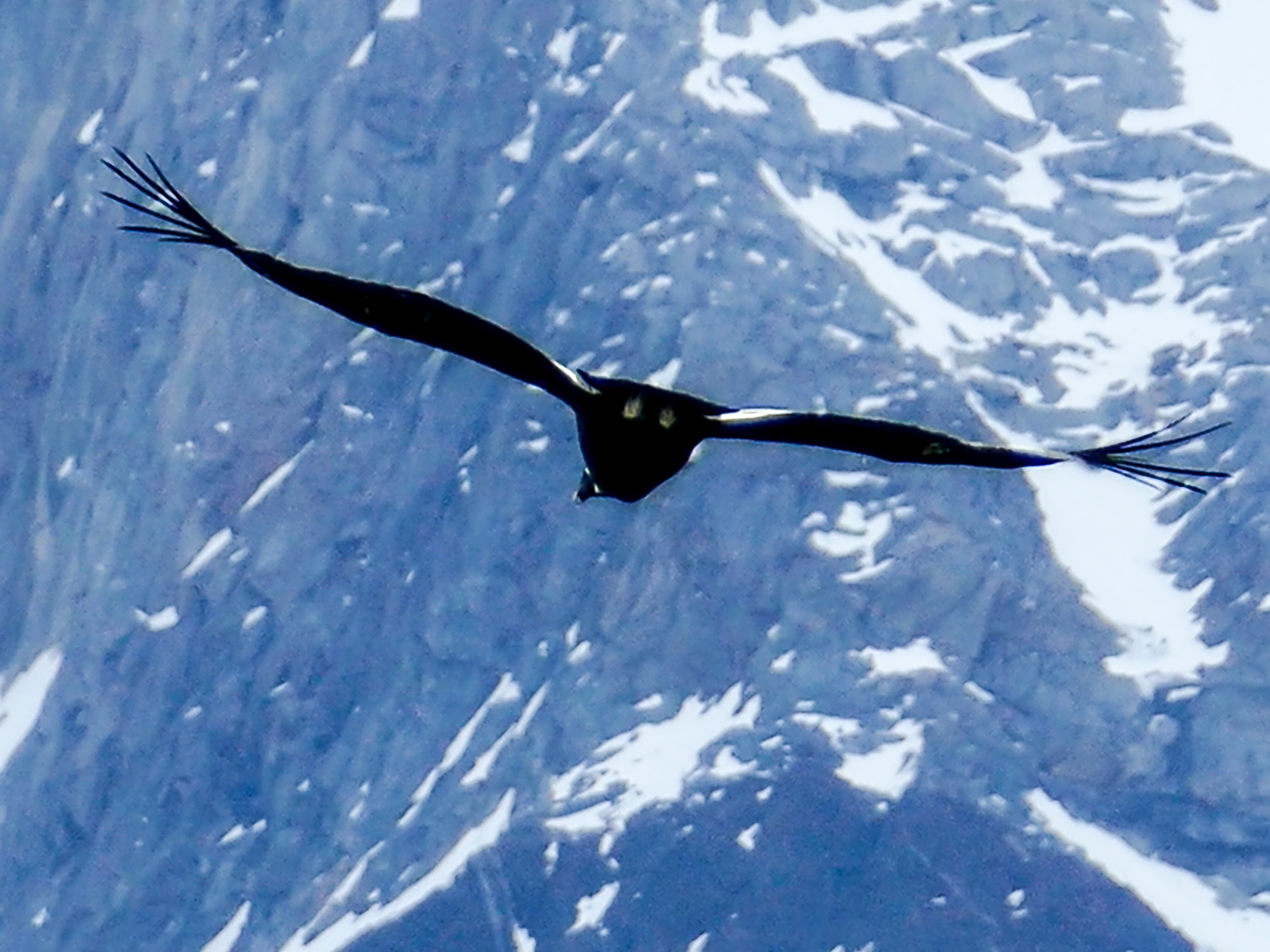 Condor soaring against the Andes