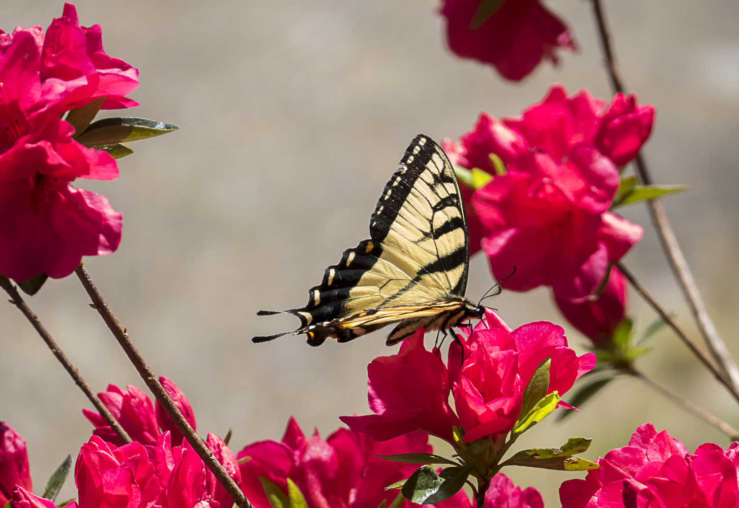 Yellow swallowtail butterfly amidst the azalieas