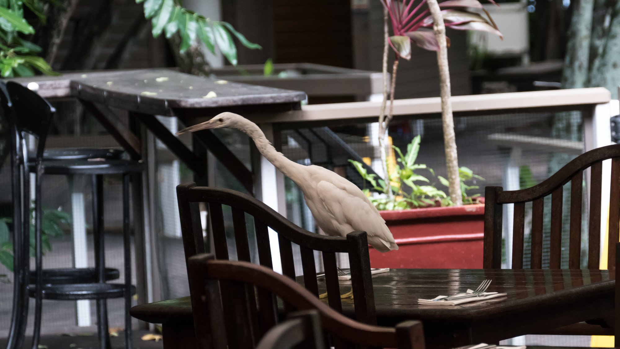Reef heron arriving early for lunch