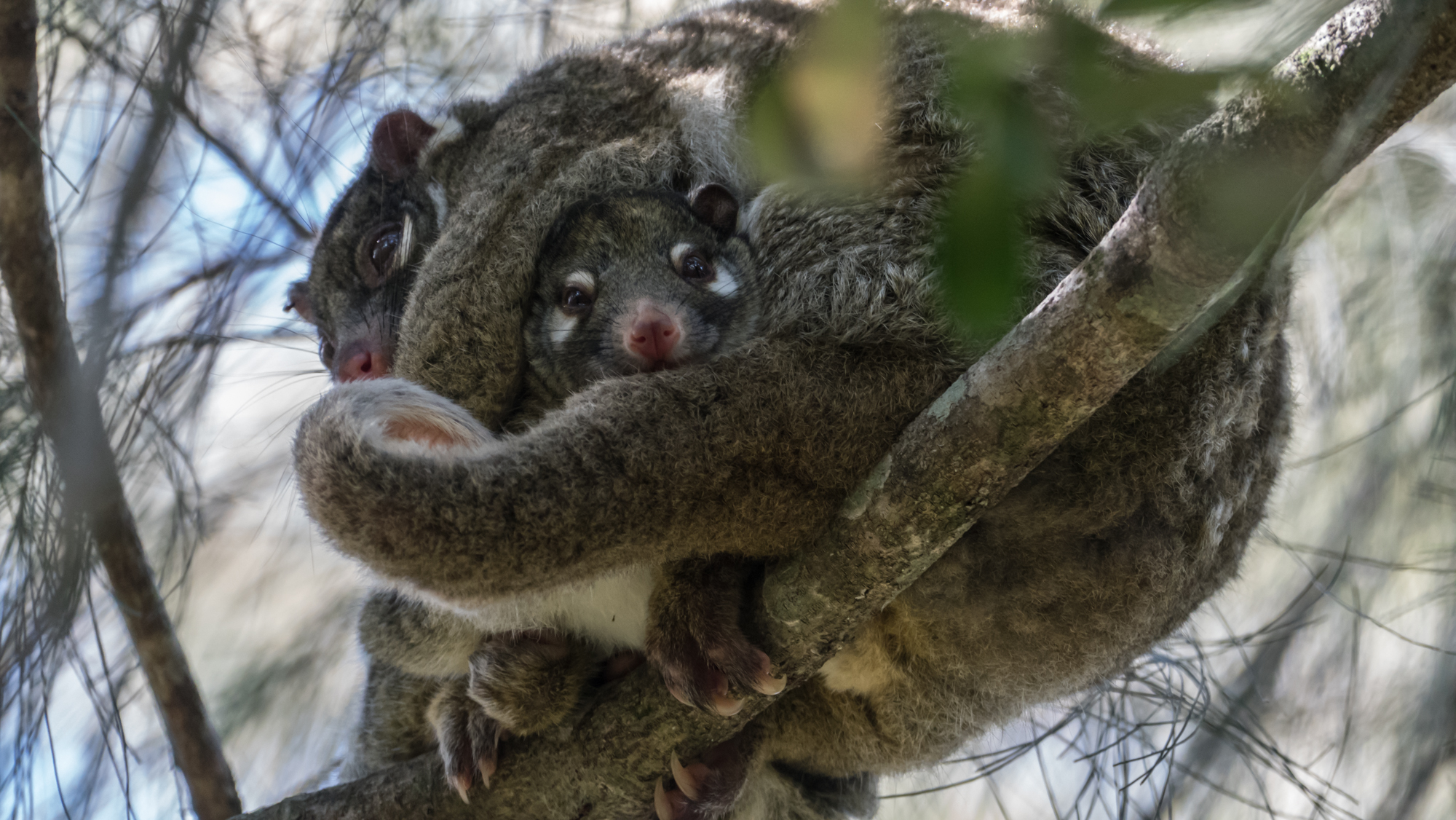 Marsupial possum with young