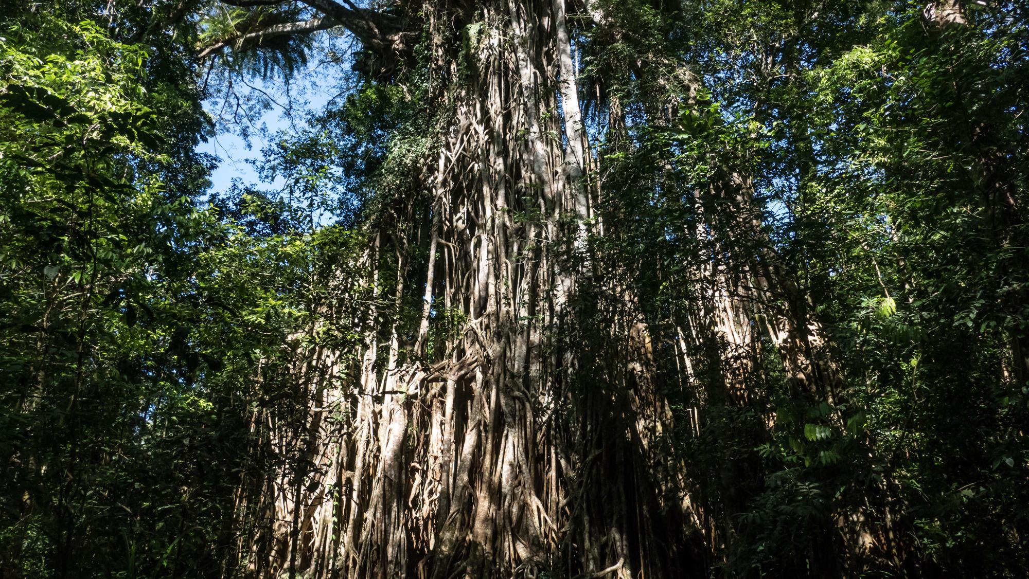 Strangler Cathedral tree