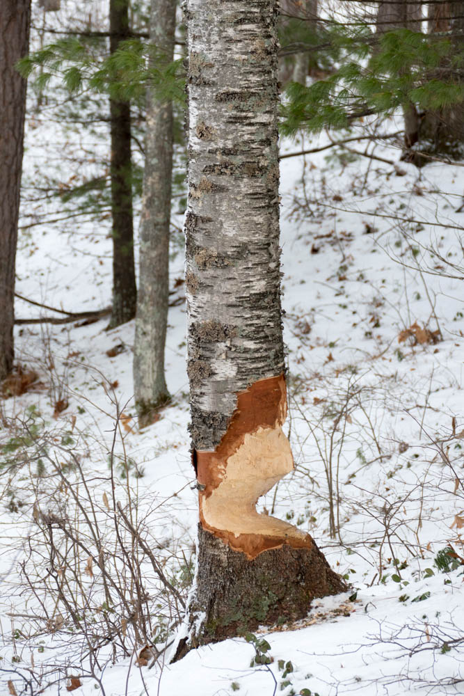 Fresh beaver work on the island. We have never seen the beaver at work though there are many trees showing signs of his presence.