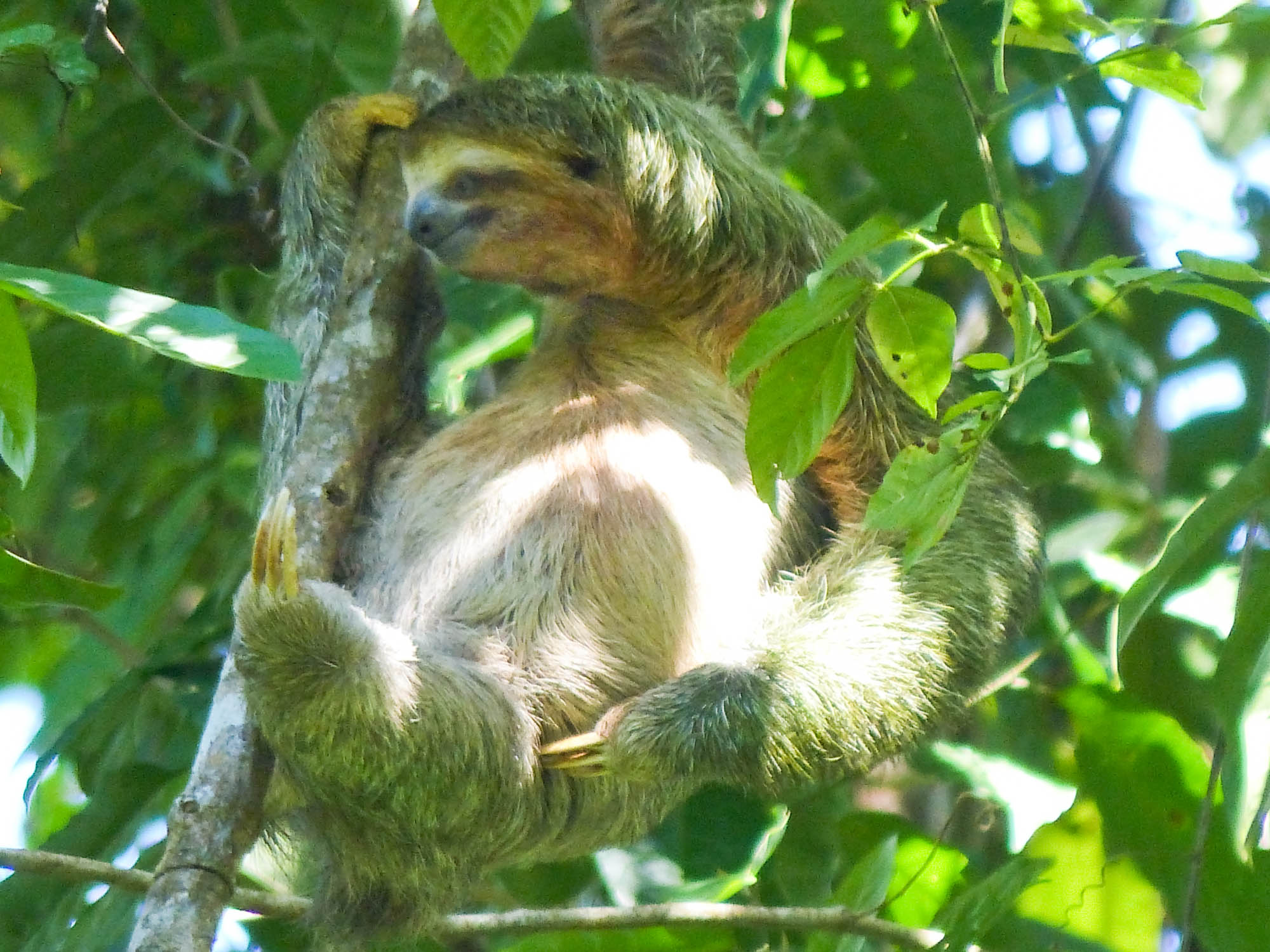 Three-toed sloth high up in the tree