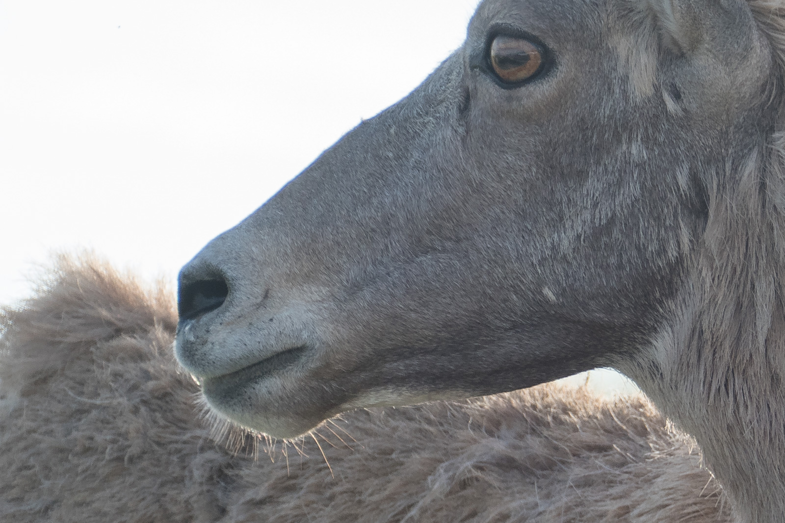 Big Horn sheep closeup with backlit whiskers