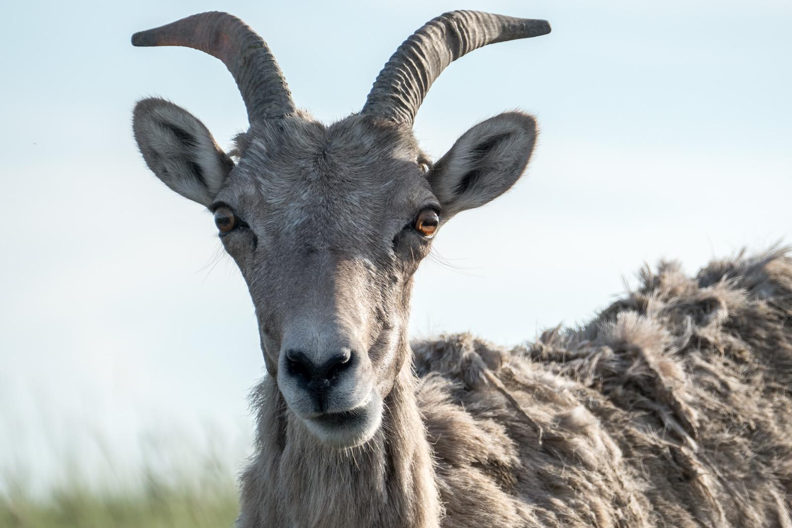 Bighorn sheep chewing her cud