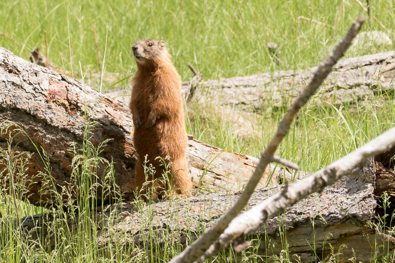 Marmot on alert