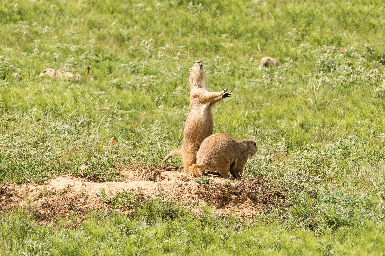 Prairie dog in mid-call
