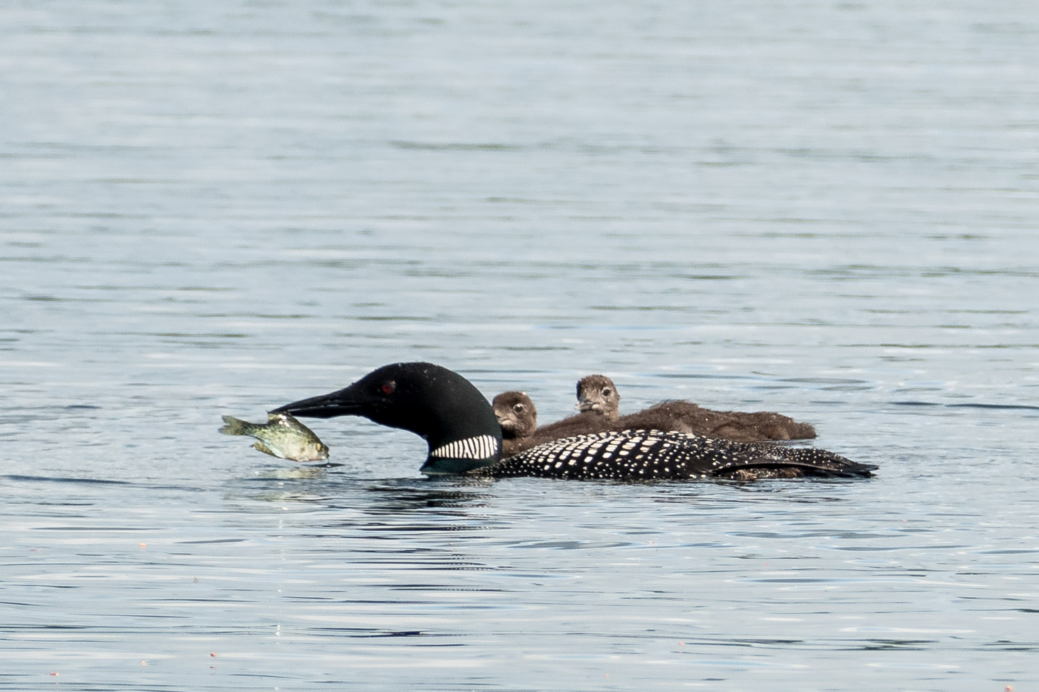 Loon with fish for the two chicks
