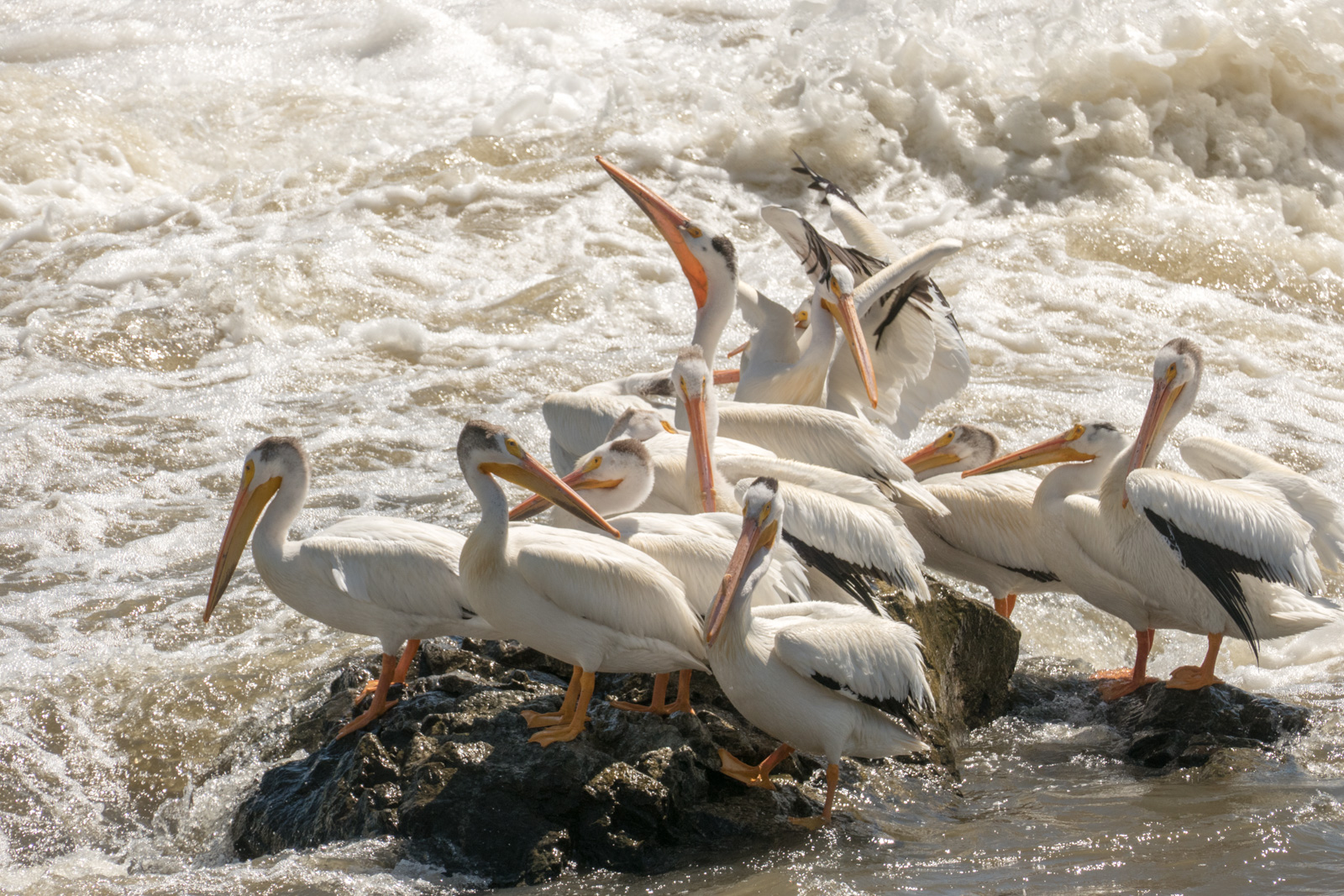 Pelicans congregating below the dam in Granite Falls, MN