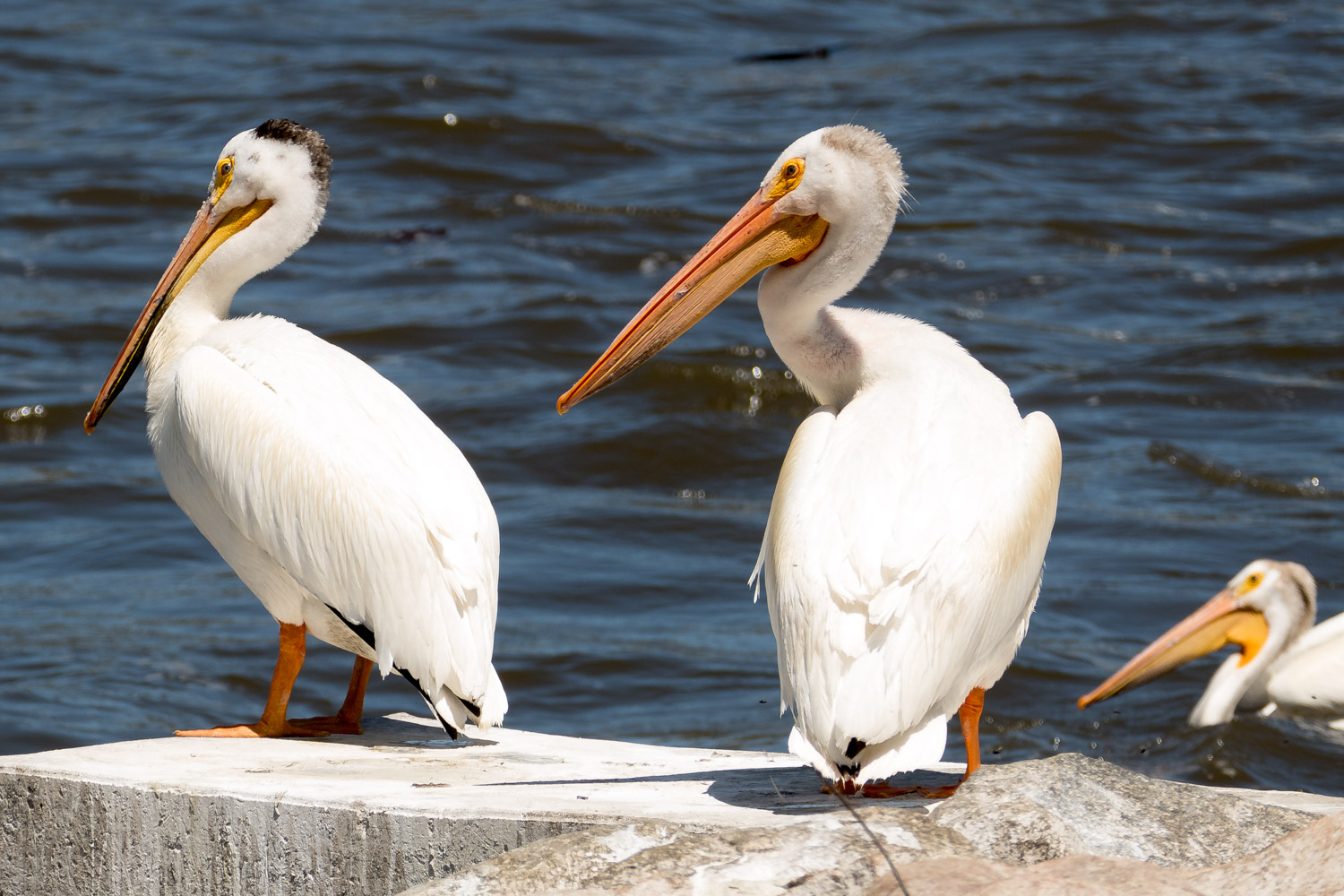 Pelicans on parade