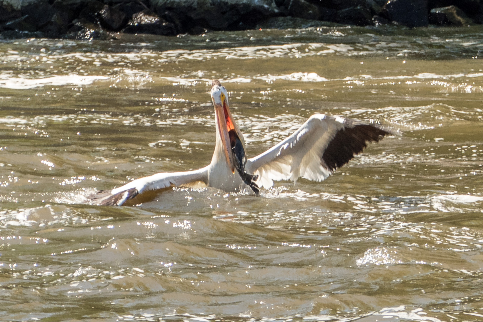 Pelican with large fish