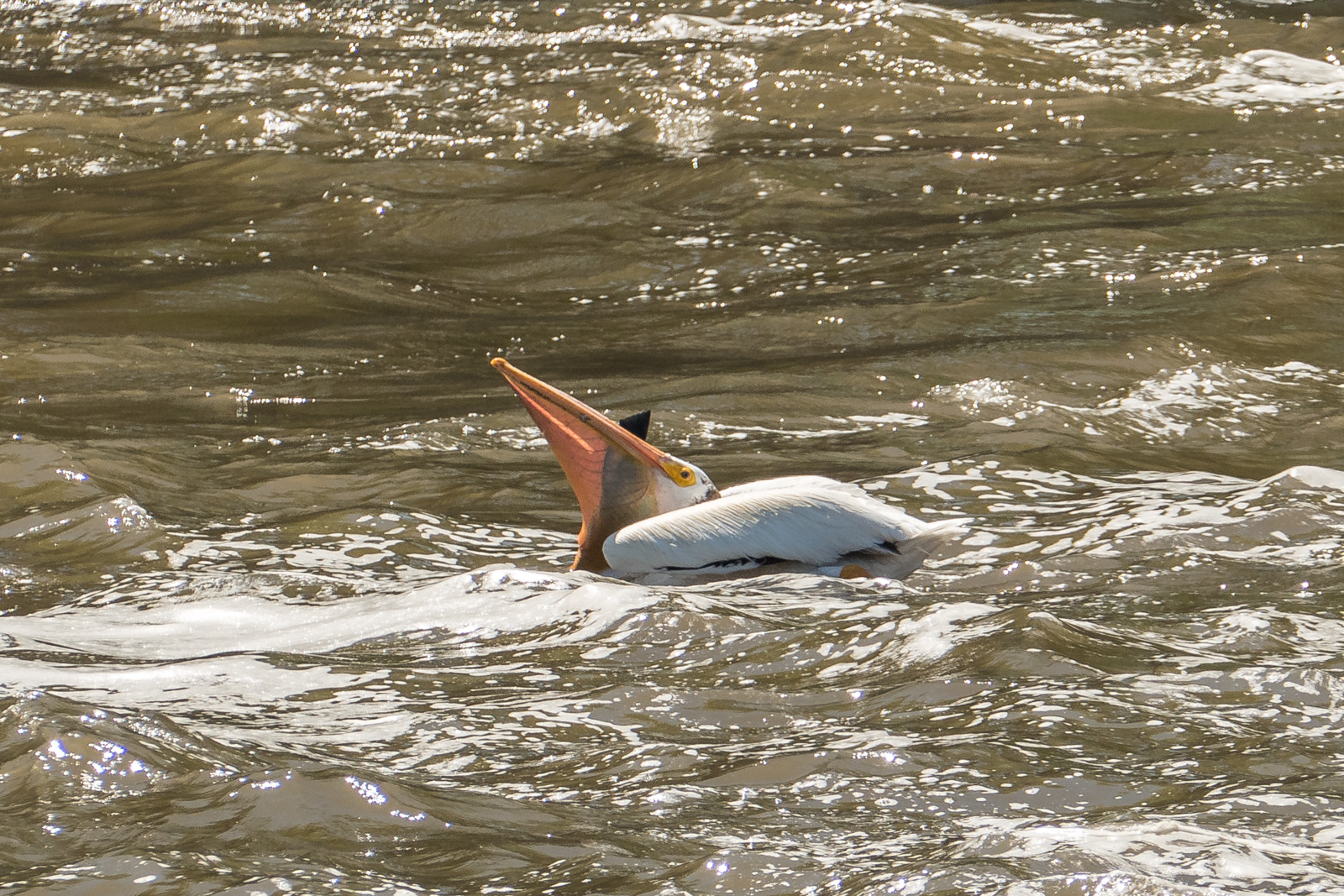 Pelican struggling to swallow a large fish