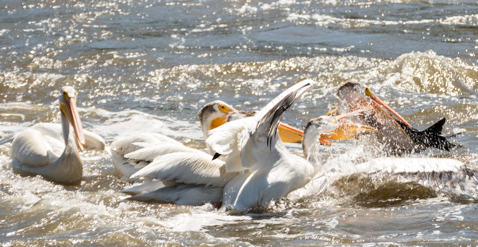 Pelican with large fish in its bill attracts a mob