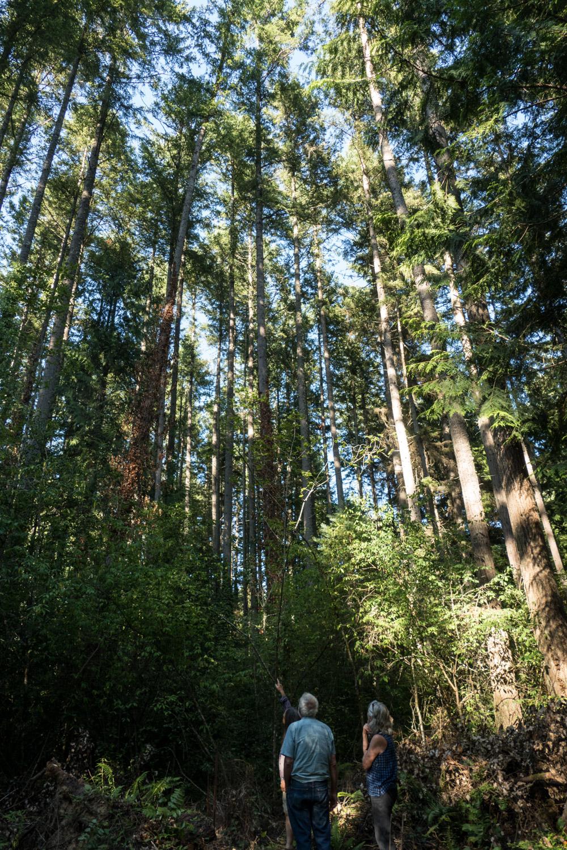 Tall trees on Bainbridge Island