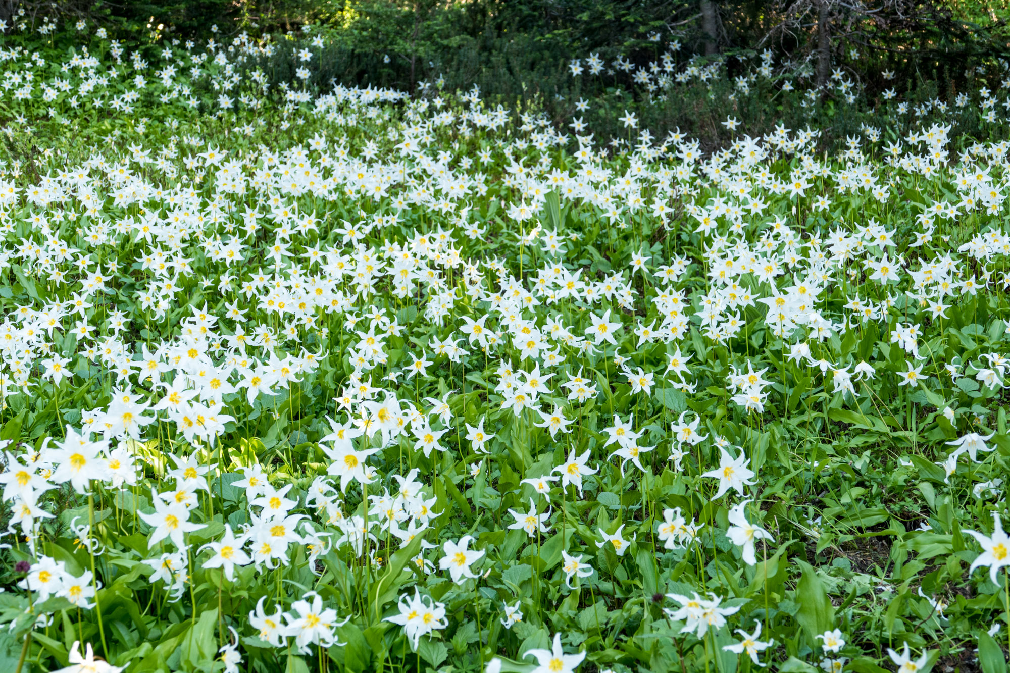 An avalanche of lilies