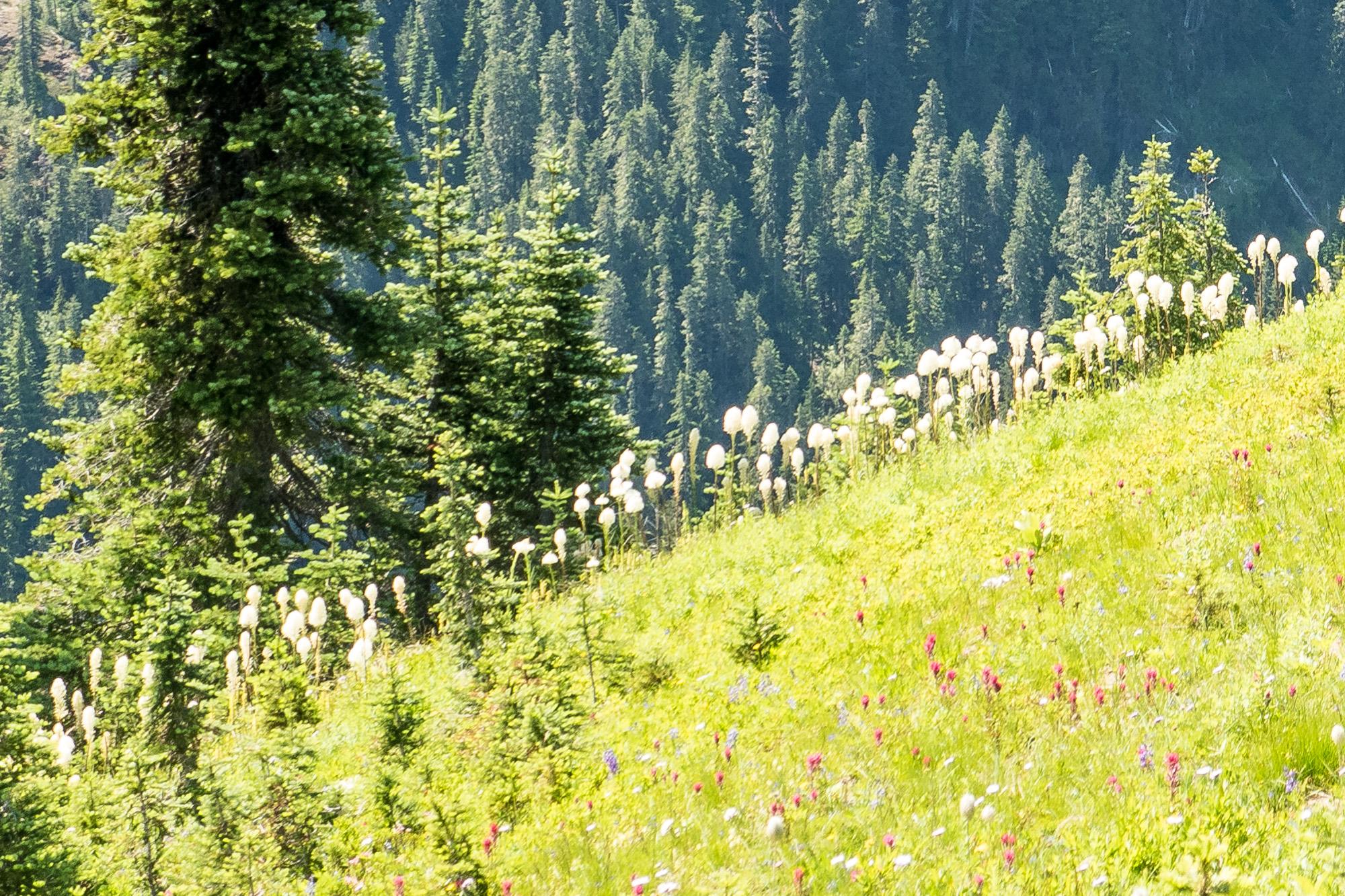 A hillside of bear grass