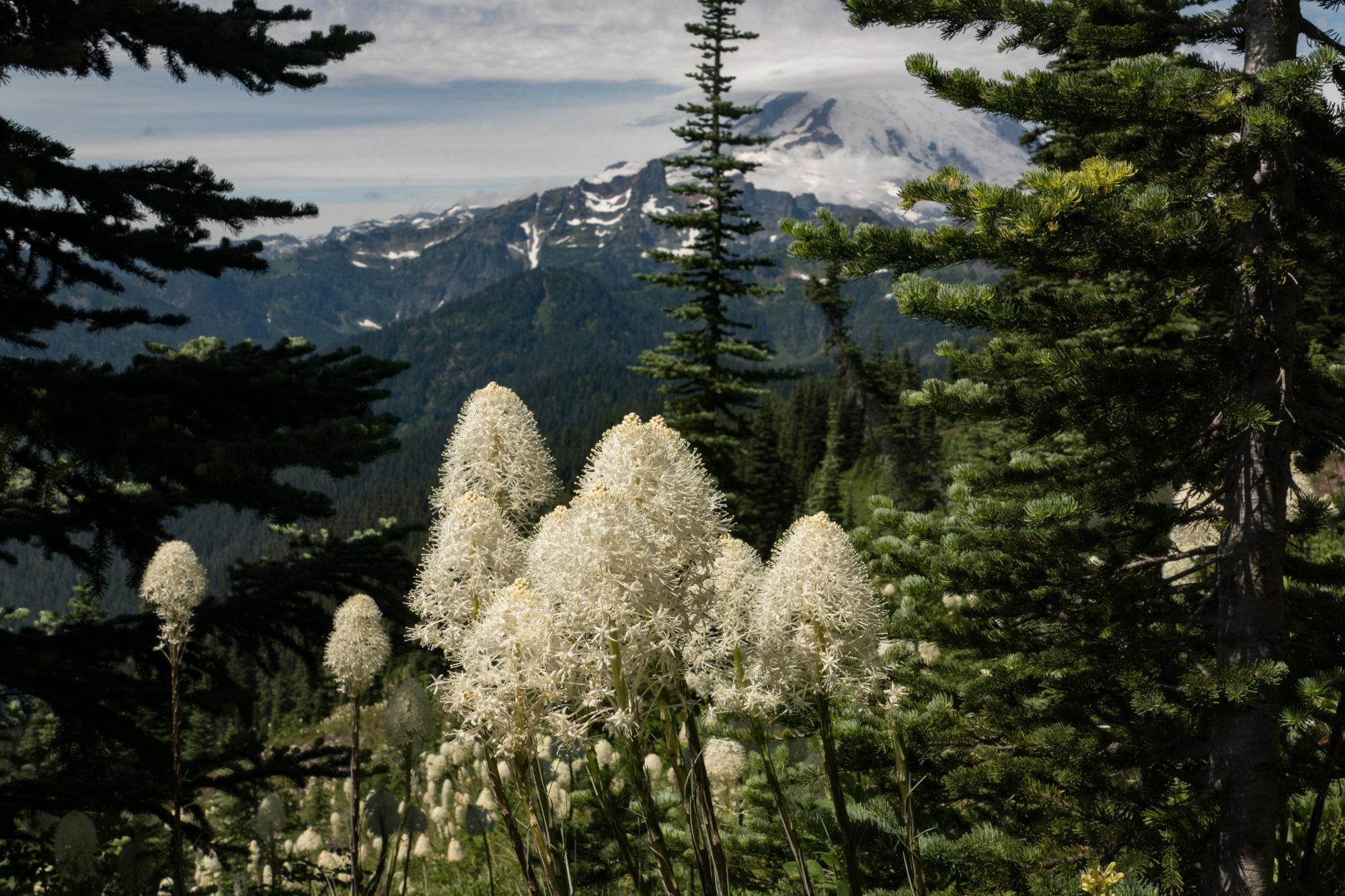 Bear grass and Mt. Ranier