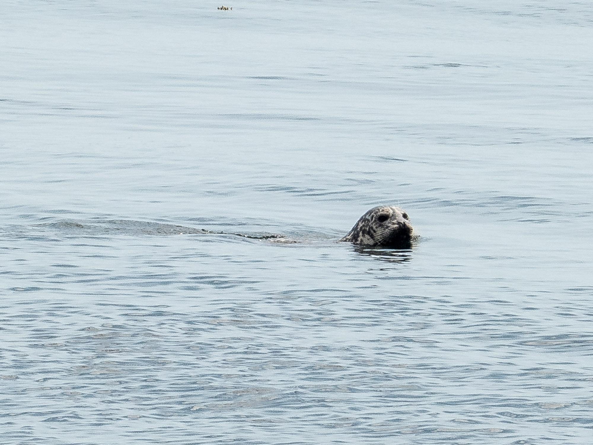 Leopard seal near Lime Kiln lighthouse