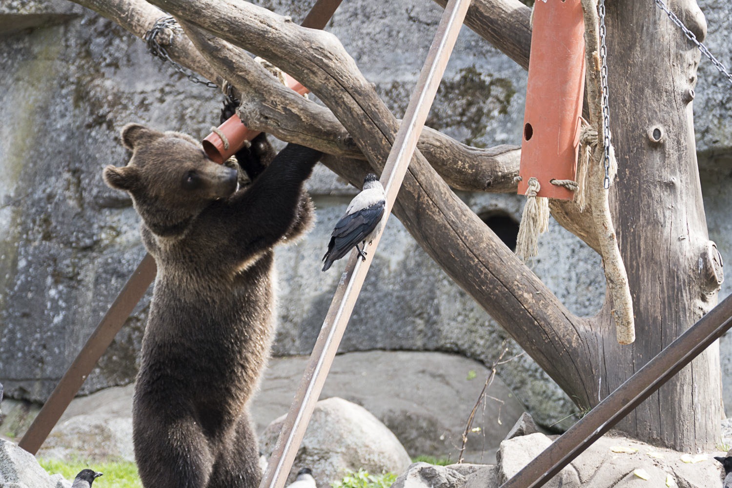 Curious bear searching for a food prize