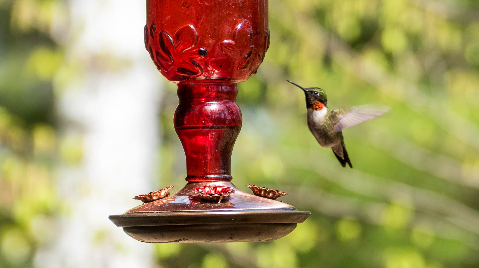 Ruby throated humming bird. Only males have the ruby throat, which is iridescent and only shows in certain angles and lighting.