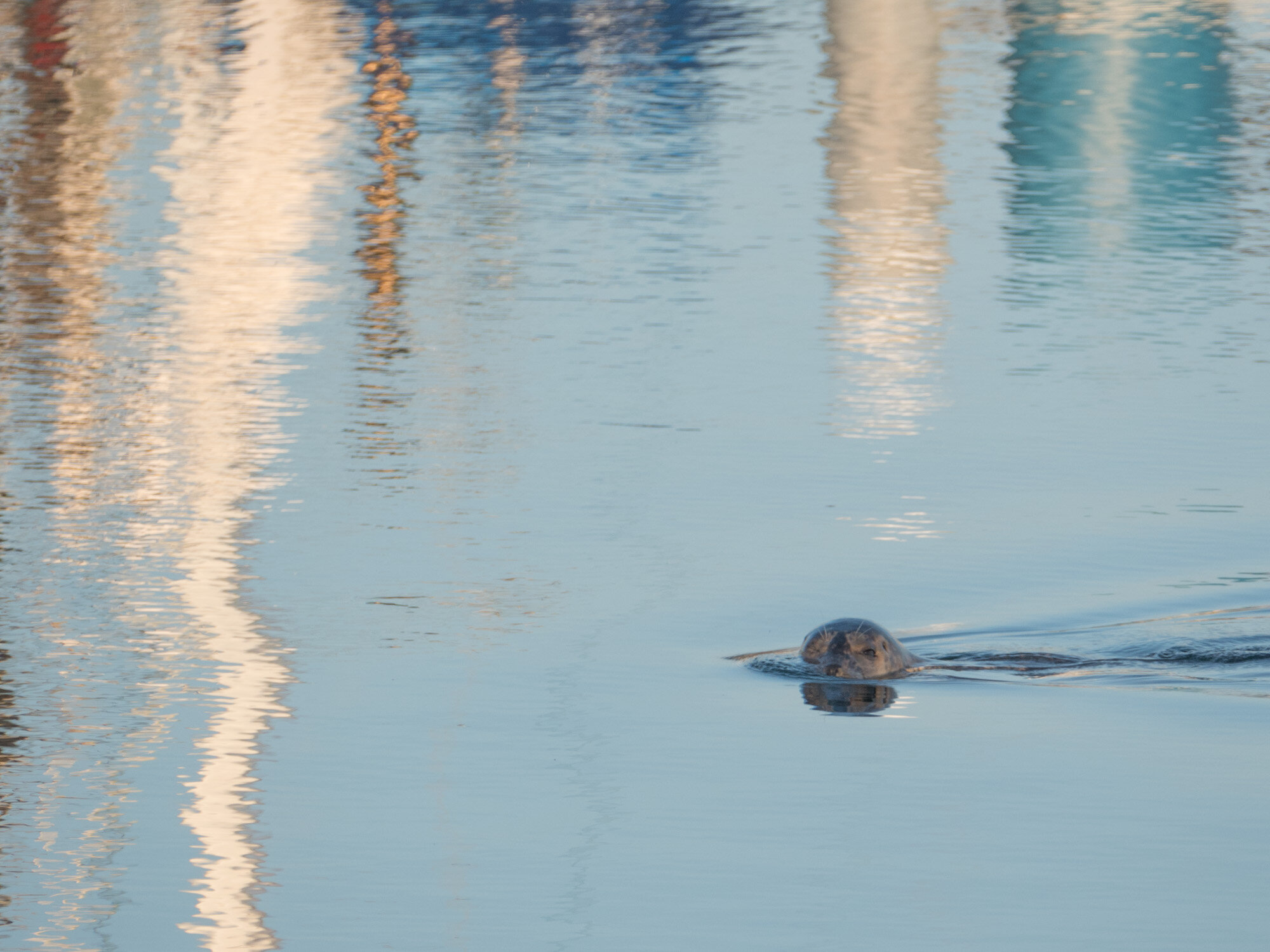 Resident seal in Anacortes Harbor