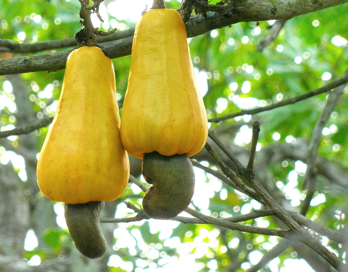 Fun fact: Did you know the cashews we eat are actually seeds? They're part of the cashew fruit, which grows on trees.