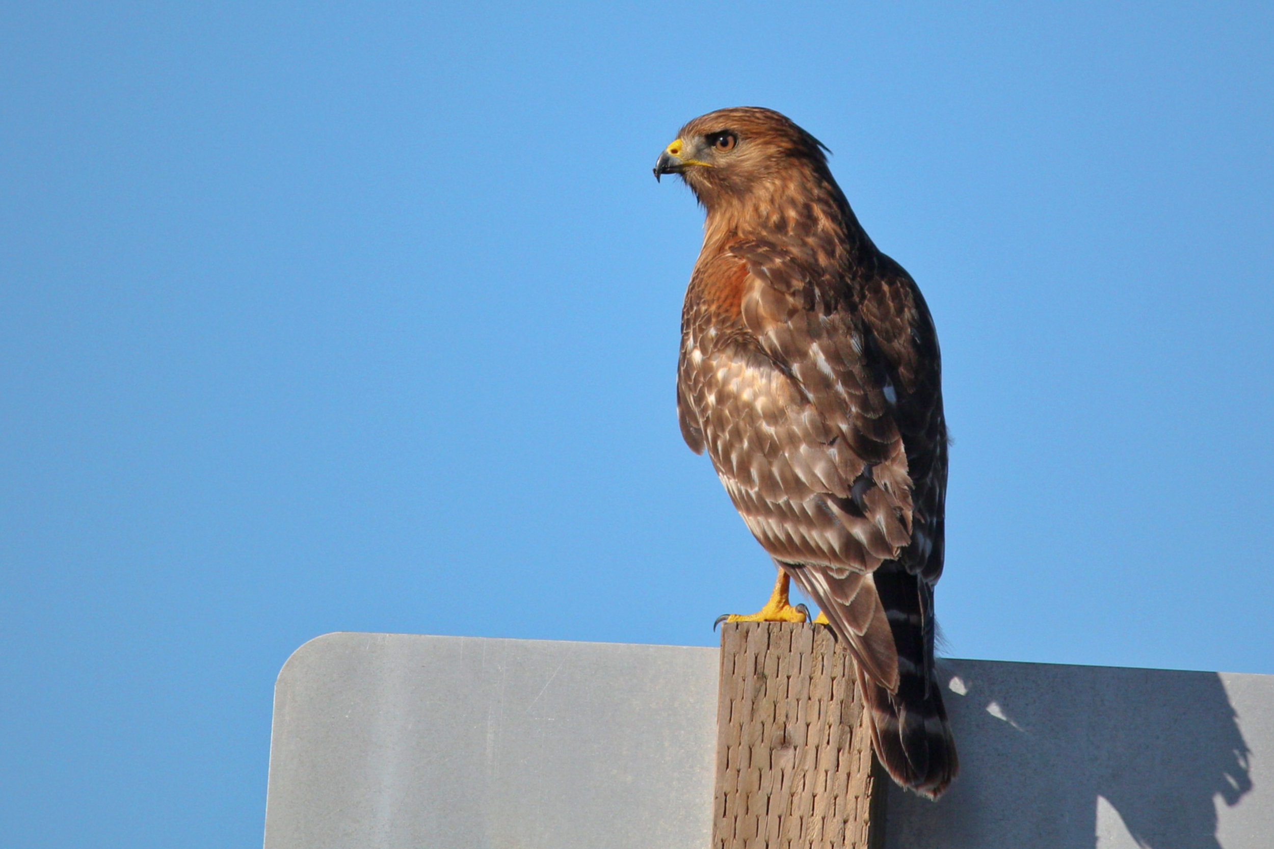 Red-shouldered Hawk.jpg