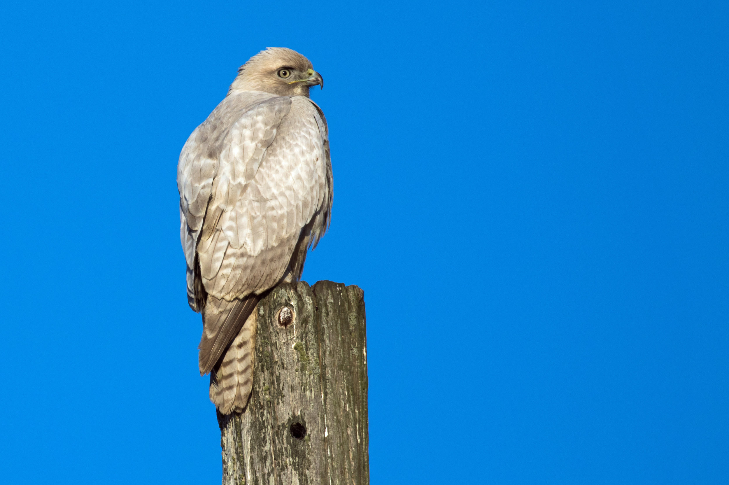 Dilute Plumage Red-tailed Hawk