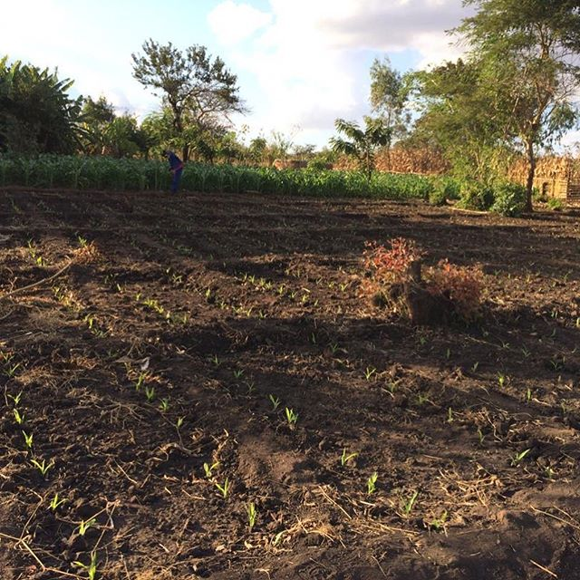 More pictures of Mr. Layitan's garden. He is staggering his crops, interplanting, so neat to see the trainings being utilized by this lead farmer!!