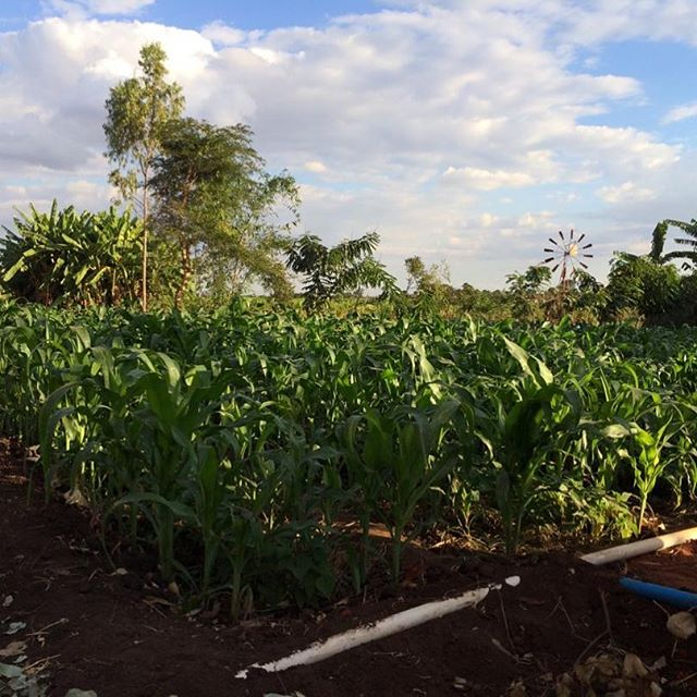 """Woke up to this whats ap from Joseph this morning.  This windmill was sponsored by Rosemary and was installed in March while we were in Malawi!  It is the first windmill in the Chigonthi Extension Planning Area. Joseph commented, """"Mr. Layitan is using his Windmill wisely."""" So thankful to see food growing abundantly in the dry season!"""