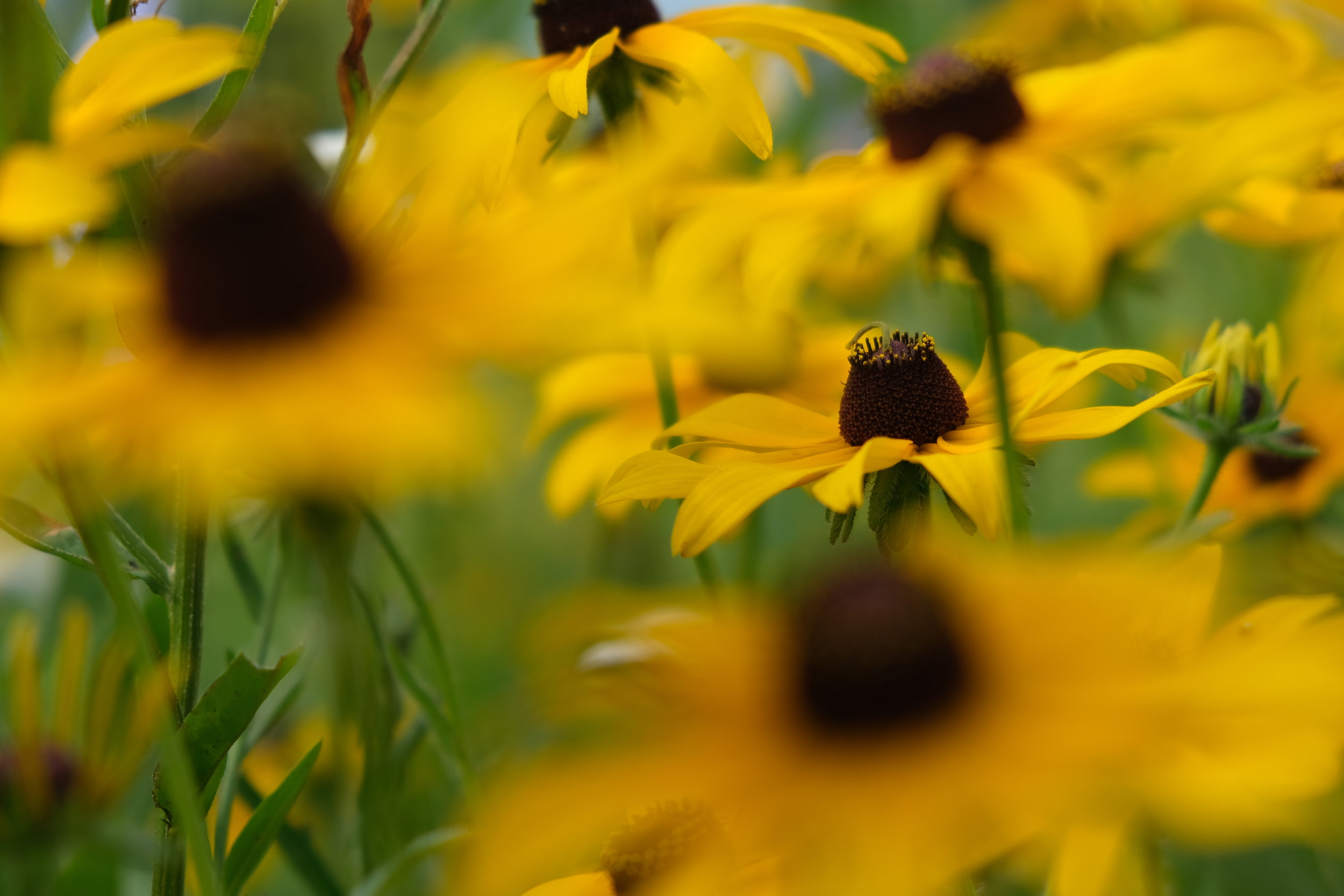 I can't see the rudbeckia for all the rudbeckia in the way