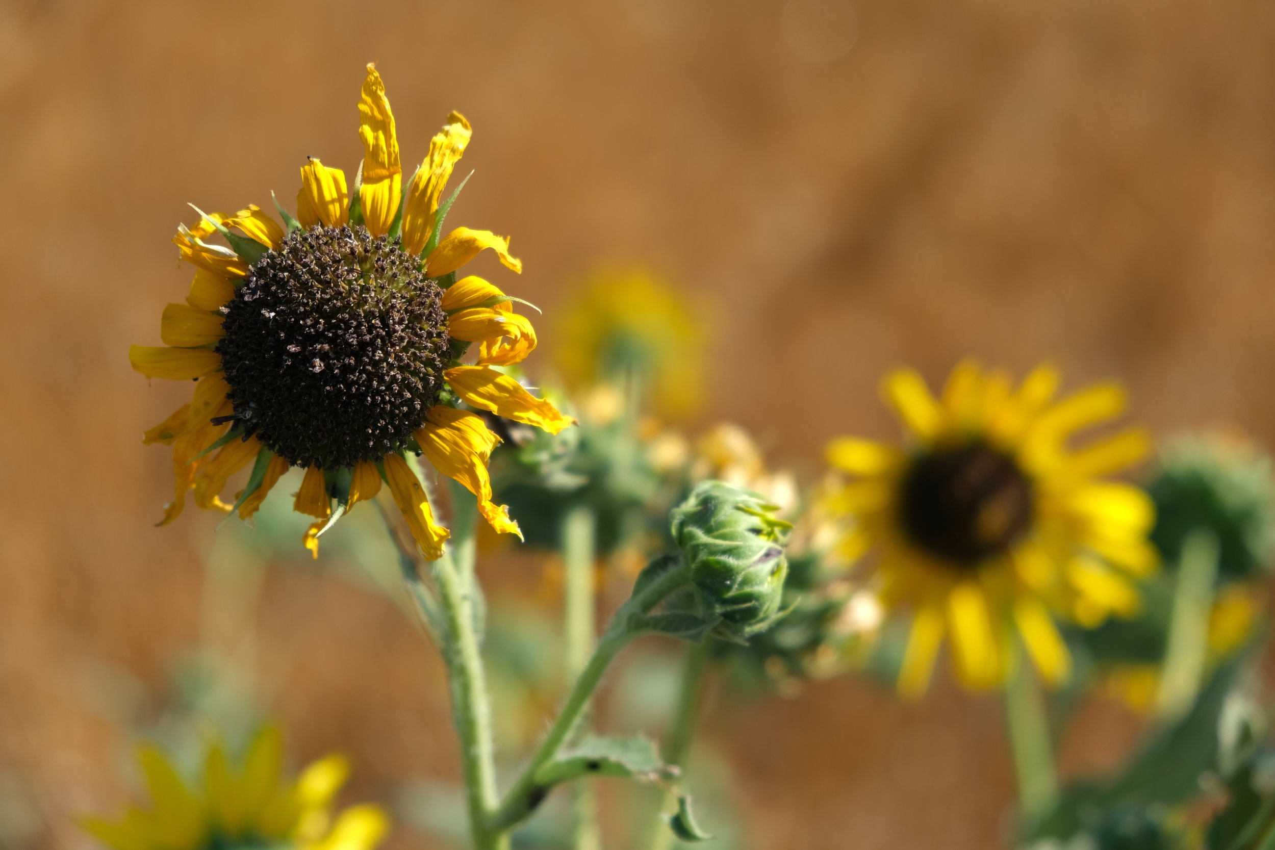 There are very few sunflowers in the Sunflower State