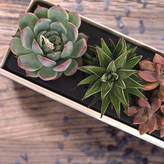 Verdant Garden featuring three succulents - $55