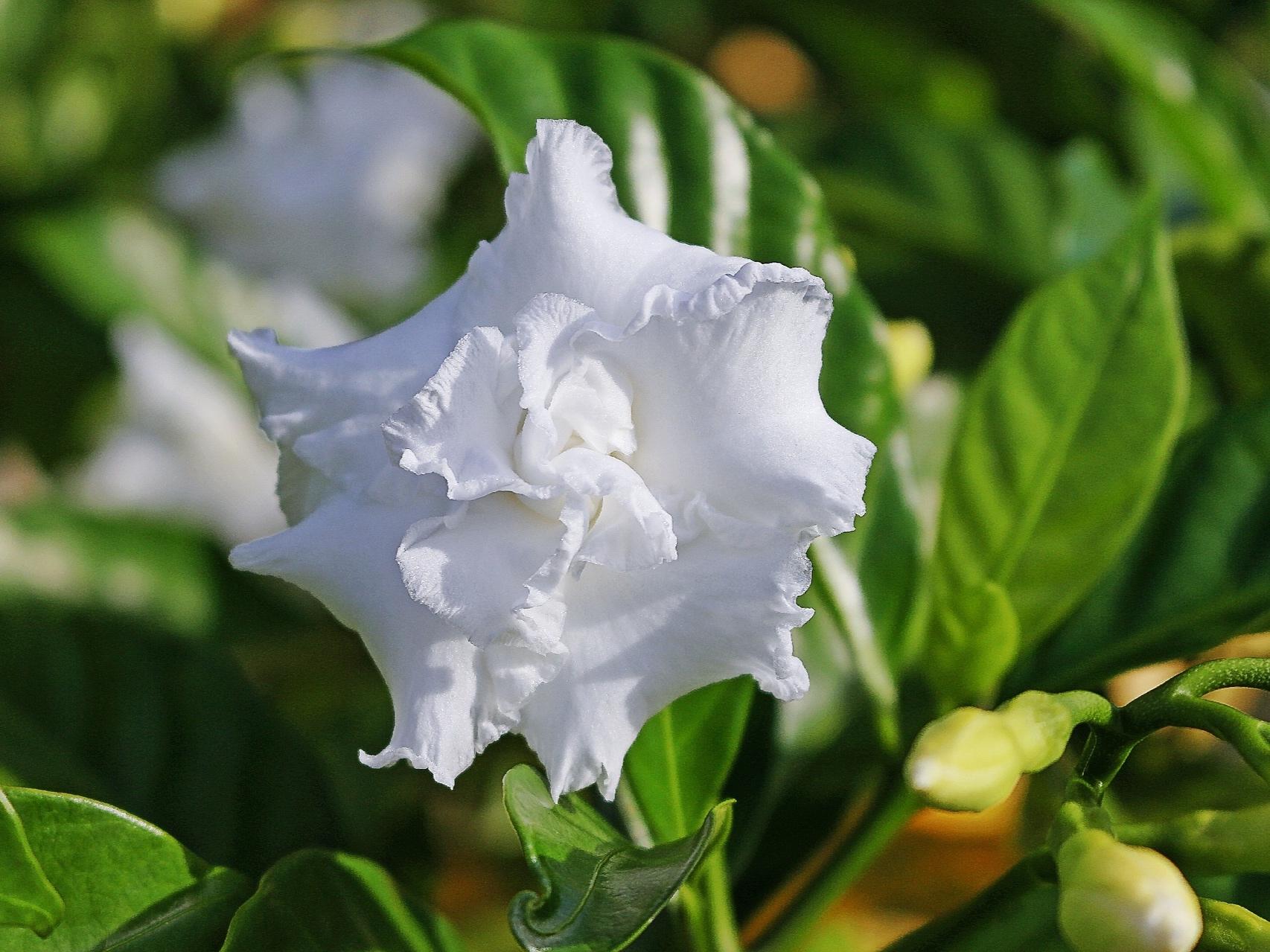 La nostra Crema Viso Cellule Staminali contiene Cellule Staminali Vegetali di Gardenia che favoriscono la rigenerazione cellulare della pelle. -
