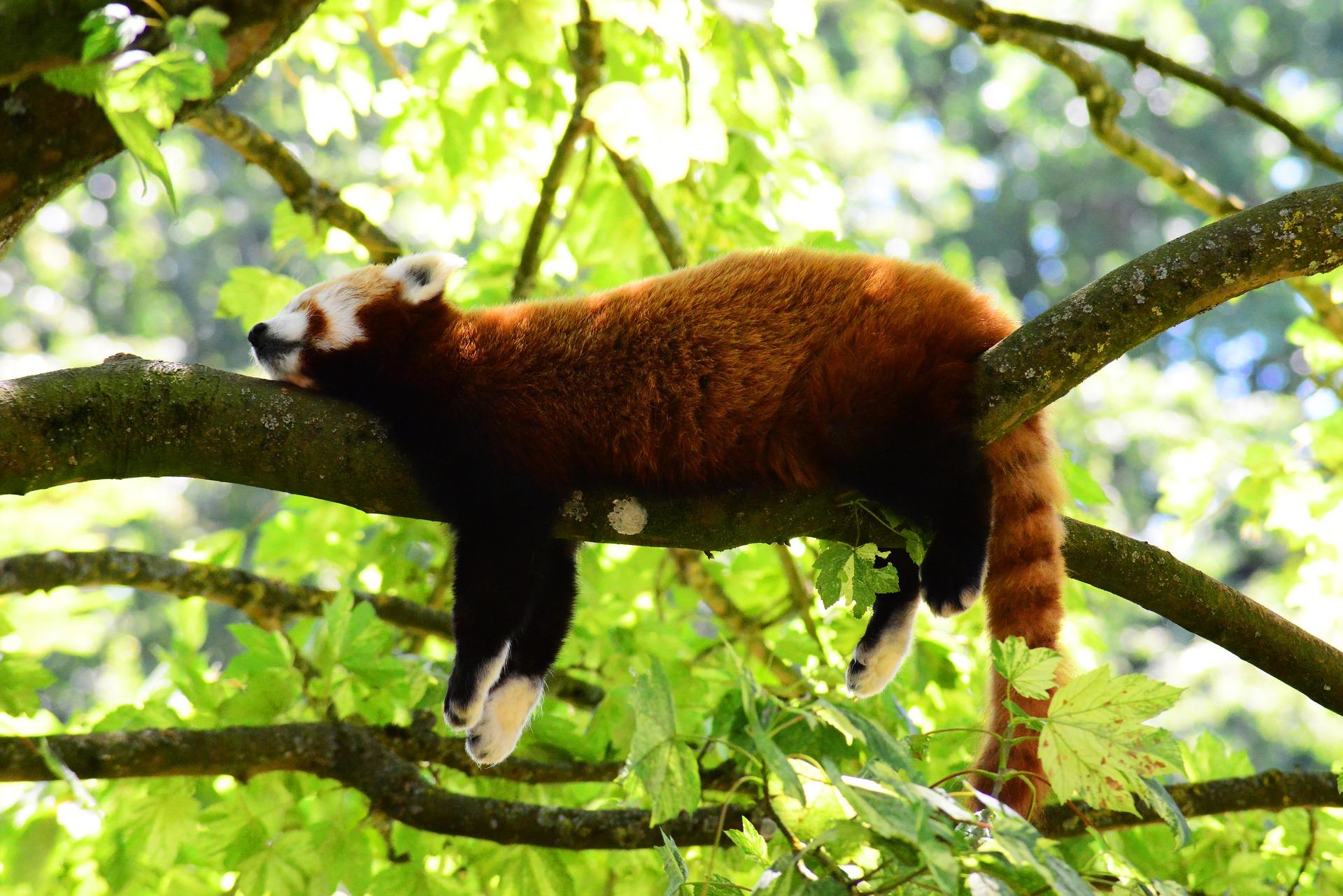 red-panda-3507877_1920.jpg