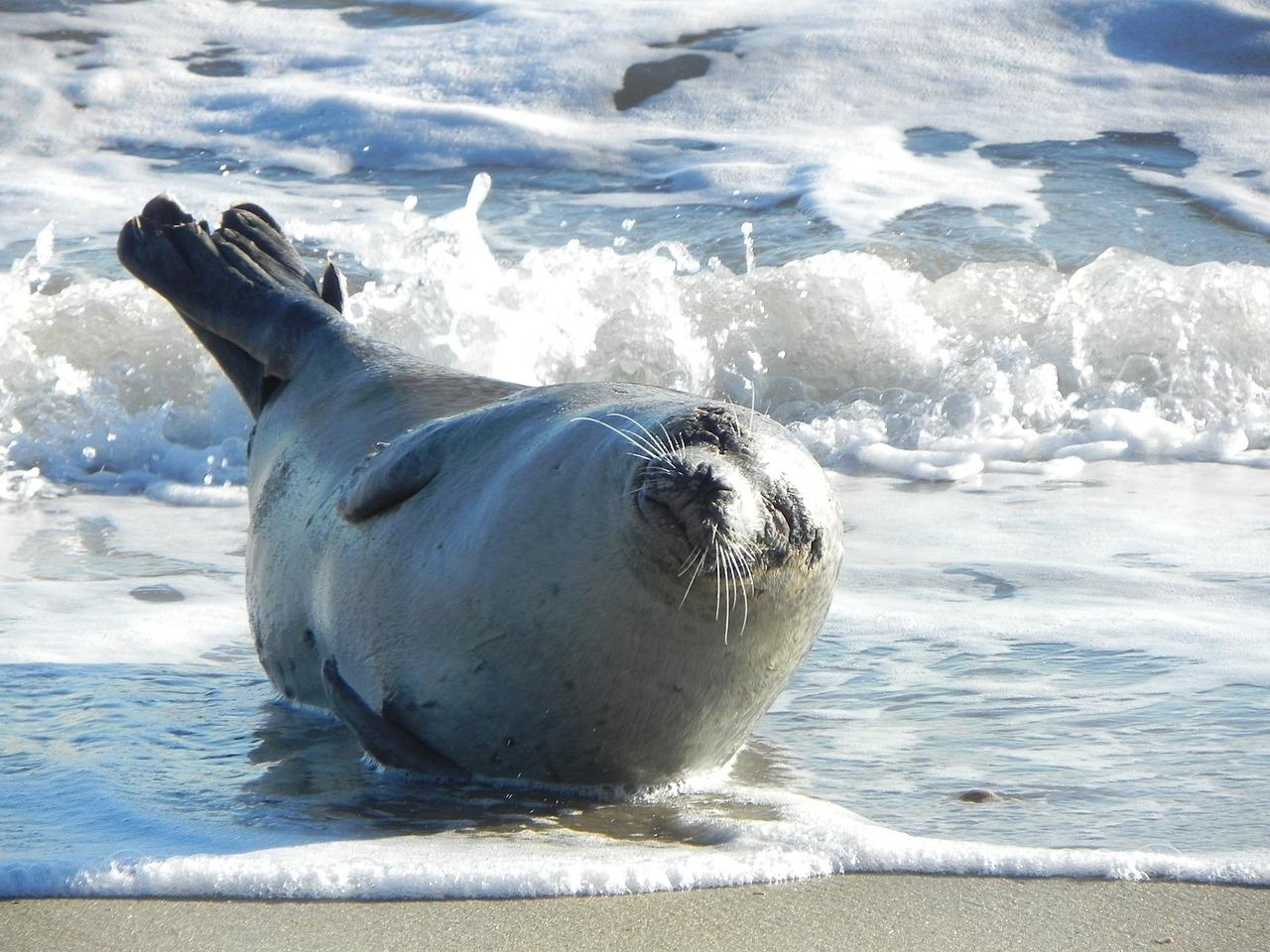 harbor-seal-1757161_1280.jpg