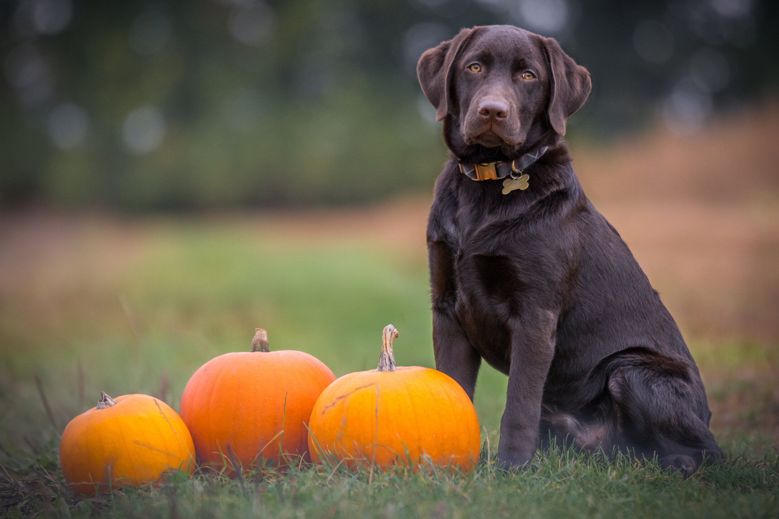 pumpkin dosage for dogs