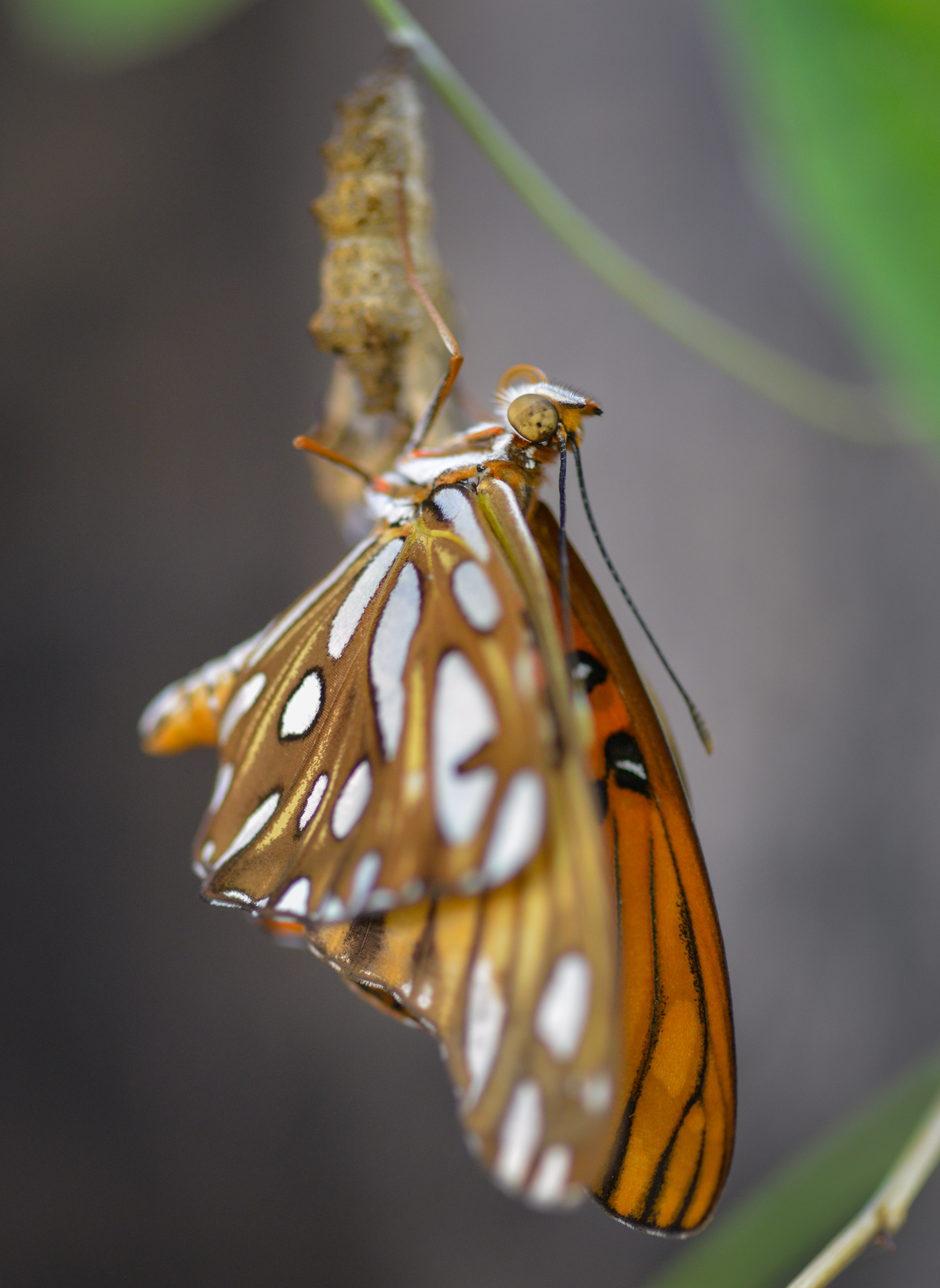 A Gulf Fritillary butterfly emerging from it's cocoon in Sacramento, California